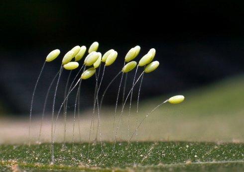 Kehanet Çiçeği de denen, Orta Asya'da üç bin yılda bir açtığına inanılan Udumbara Çiçekleri...